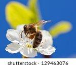 Bee On Apple Blossom  Macro...