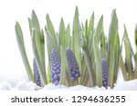 blue grapes hyacinth.beautifull ...   Shutterstock . vector #1294636255