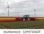 Tractor Harvesting Tulips On...
