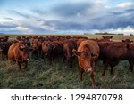 Herd Of Cows On A Farm Field...