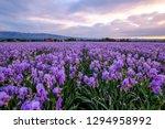 Field Of Iris Pallida In...