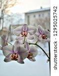 orchid flowers in winter.   Shutterstock . vector #1295025742