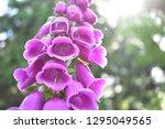 foxglove with sunbeams.   Shutterstock . vector #1295049565