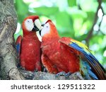 the scarlet macaw | Shutterstock . vector #129511322