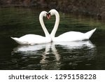 two swans together in the pond | Shutterstock . vector #1295158228