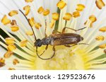 Small photo of Tobacco coloured longhorn beetle, Alosterna tabacicolor feeding on rose