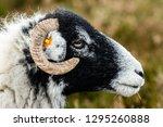 Swaledale Ewe In Winter. Open...