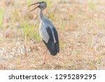 asian openbill scientific name  ...   Shutterstock . vector #1295289295