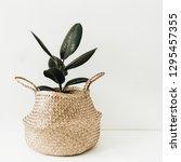 ficus robusta in straw basket... | Shutterstock . vector #1295457355