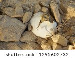 Stock photo close up baby tortoise hatching african spurred tortoise birth of new life closeup of a small 1295602732