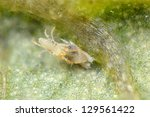 Two Spotted Spider Mite...