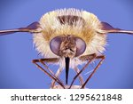 bee fly  bombylius major ... | Shutterstock . vector #1295621848