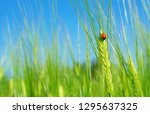 Ladybird On  Green Barley...