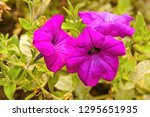 landscape with the petunia... | Shutterstock . vector #1295651935