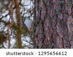 songbird on a tree in sweden | Shutterstock . vector #1295656612