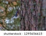 songbird on a tree in sweden | Shutterstock . vector #1295656615