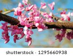 Closeup Of Many Pink Cercis...