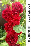 red hollyhock double puff with...   Shutterstock . vector #1295823025