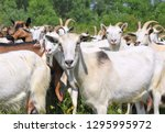 goats in the pasture of organic ... | Shutterstock . vector #1295995972