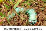 hickory horned devil...   Shutterstock . vector #1296139672