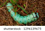 hickory horned devil...   Shutterstock . vector #1296139675