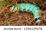 hickory horned devil...   Shutterstock . vector #1296139678