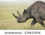 A Black Rhino  Diceros Bicorni...
