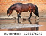 bay draft horse calmly walks...   Shutterstock . vector #1296176242