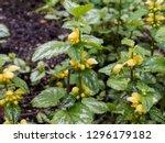 lamium galeobdolon or yellow... | Shutterstock . vector #1296179182