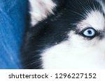blue eye husky | Shutterstock . vector #1296227152