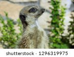 portrait of a cute meerkat or...   Shutterstock . vector #1296319975