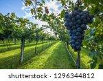 grape harvest italy | Shutterstock . vector #1296344812
