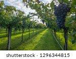 grape harvest italy | Shutterstock . vector #1296344815