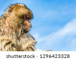 portrait of a monkey from the... | Shutterstock . vector #1296423328