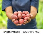 Harvest Red Potatoes In The...