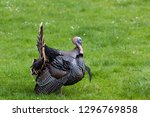 A Large Male Turkey With Its...