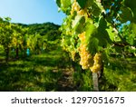 white riesling grapes vineyard... | Shutterstock . vector #1297051675