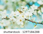 white cherry flowers on a blue... | Shutterstock . vector #1297186288