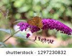 butterfly feeding on buddleia... | Shutterstock . vector #1297230832