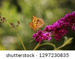 butterfly feeding on buddleia... | Shutterstock . vector #1297230835