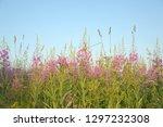 flowering of tea willow in the... | Shutterstock . vector #1297232308