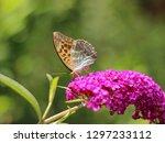 beautiful butterfly on... | Shutterstock . vector #1297233112