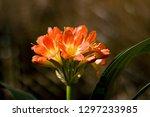 orange clivia miniata bush lily ... | Shutterstock . vector #1297233985