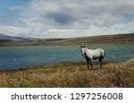 a lonely white grazing horse on ... | Shutterstock . vector #1297256008