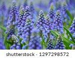 purple grape hyacinths   Shutterstock . vector #1297298572