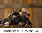 Stock photo newborn puppies in a barn 1297404868