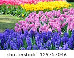 Blue And Pink Hyacinths  Red...