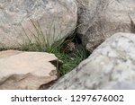 curious chipmunk hiding between ... | Shutterstock . vector #1297676002