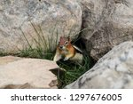 curious chipmunk hiding between ... | Shutterstock . vector #1297676005