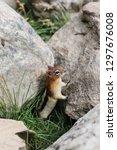 curious chipmunk hiding between ... | Shutterstock . vector #1297676008